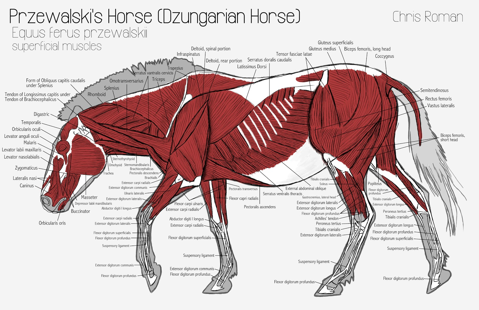 horse anatomy diagram muscles kenmore elite dishwasher wiring chris roman study