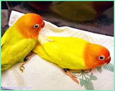 Terkadang kita menemui beberapa kasus burung datang  Penyebab Burung Datang Tiba Lumpuh