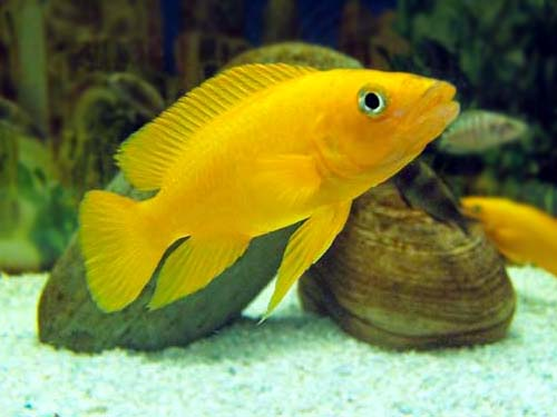 Un acuario en mi casa neolamprologus leleupi - Acuario en casa ...