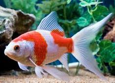 jenis ikan koki Comet goldfish merah putih