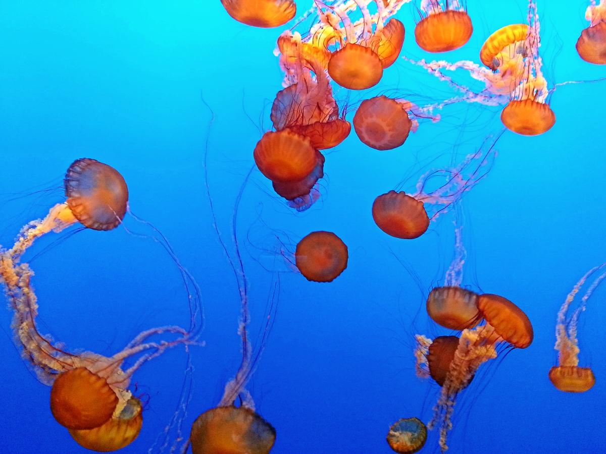 Bright orange jellyfish against a blue background, from the Monterey Bay Aquarium.