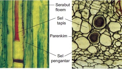 Pengertian Xilem dan Komponen Penyusun Xilem Tumbuhan