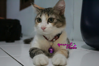 Kucing Mix Dome, Kucing Domestik, Kucing Lucu