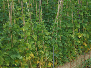 Faggioli di Sorana; growing beans in Valleriana Tuscany