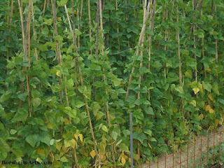 Faggioli di Sorana; growing beans in Valleriana Tuscany