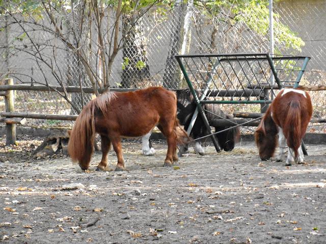 konie, wypas, wybieg, zoo Nowy Tomyśl