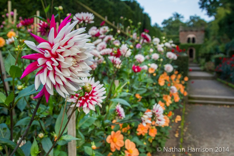jardin flores de dalia