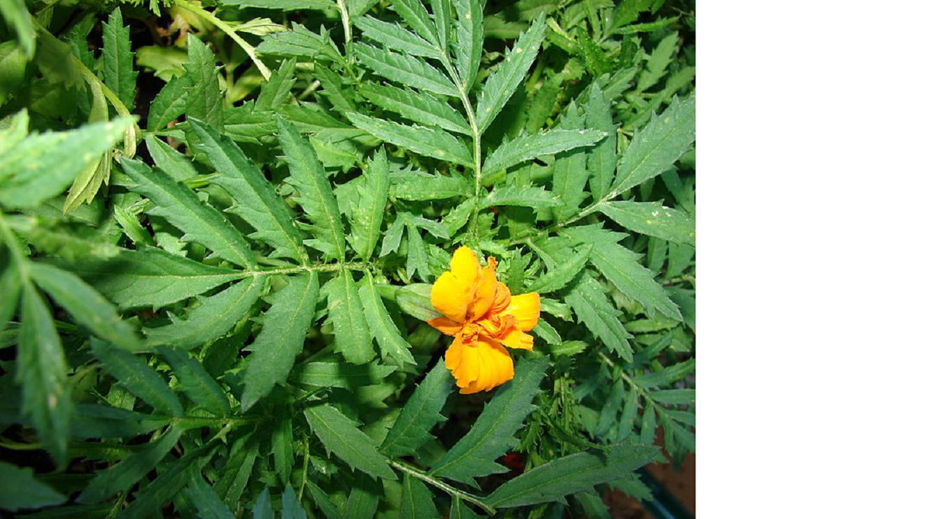 We love Our Bangladesh: Marigold flower or Gada/Genda ful ...