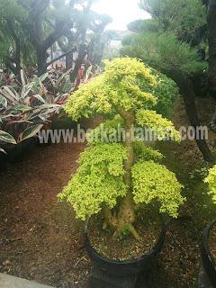 bonsai legistrum harga terbaik