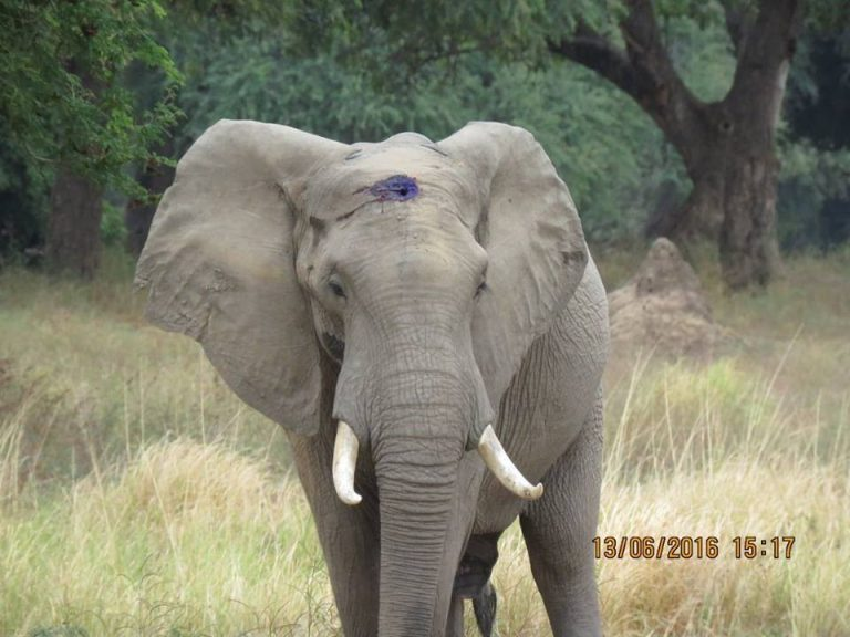 Elephant Who Was Shot In Forehead Approaches Humans For Help