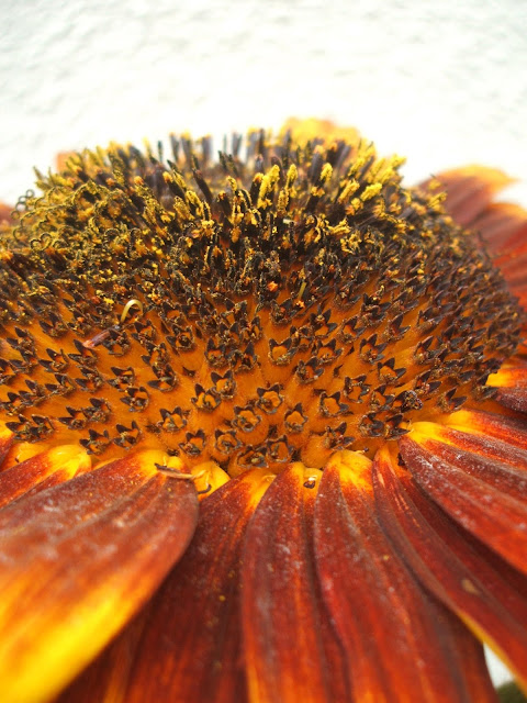 pollen dusted sunflower