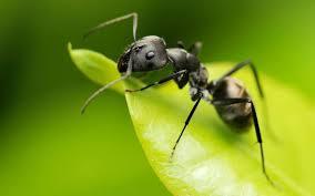 hormiga, trabajadoras, previsoras