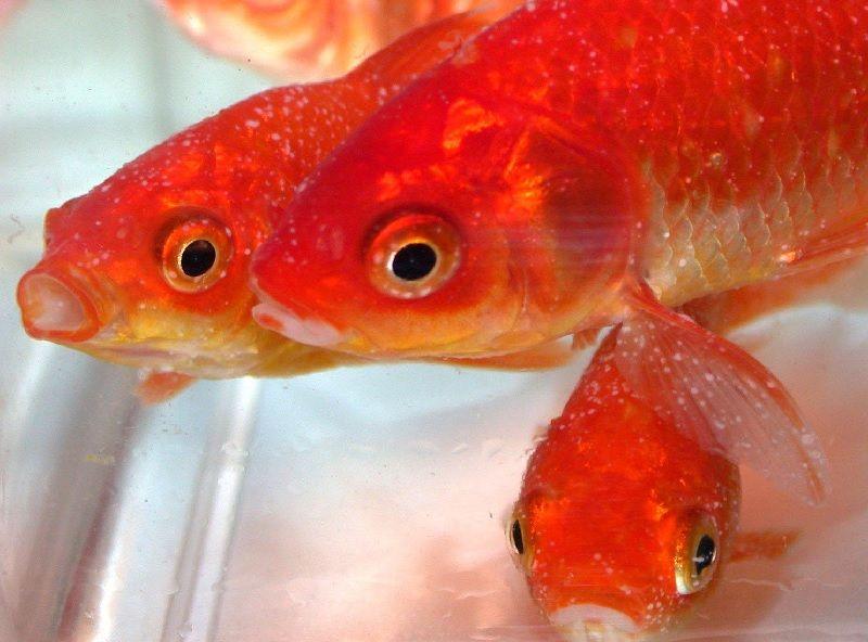 Gambar Ciri Ciri Ikan Hias sakit Atau Stres-Ikan Mas Sakit White Spot