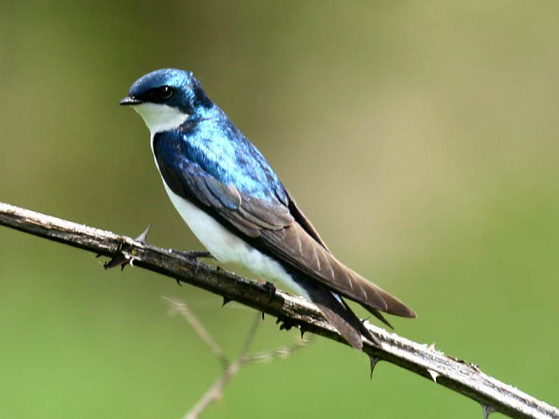 Tree Swallow Bird 108