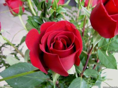 hình ảnh đẹp hoa hồng đỏ