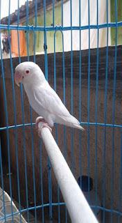 Perbedaan lovebird pastel putih dan albino