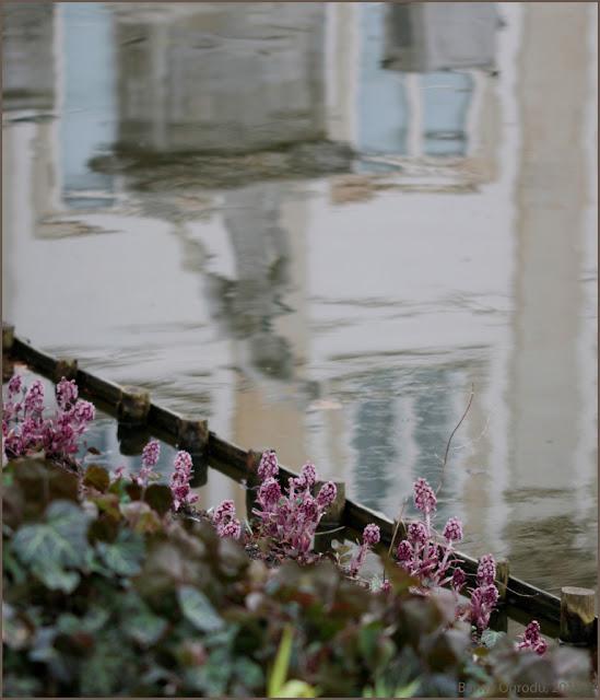 lepiężnik różowy