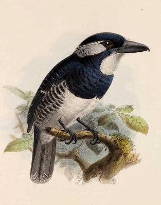 Buco pecho negro Notharchus pectoralis