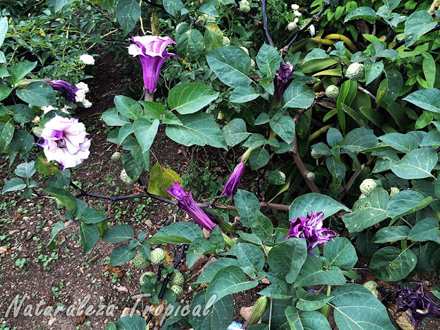 "Vista de la planta Trompeta del Diablo, Datura metel ""Double purple"""