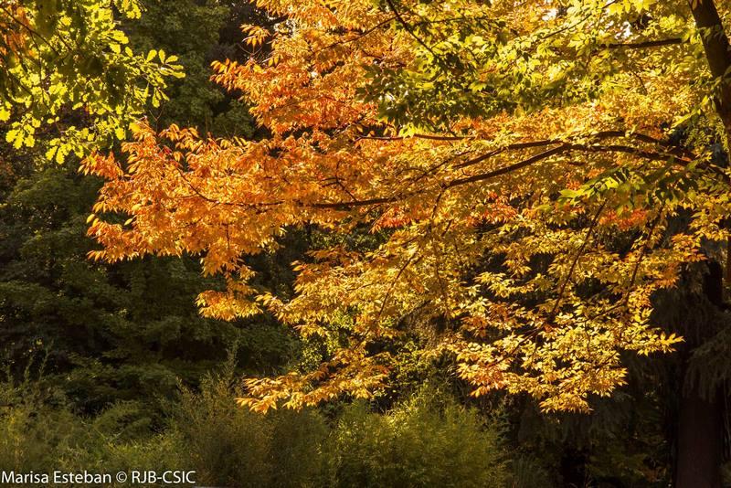árbol procedente de China con hojas amarillas otoño. Zelkova schneideriana