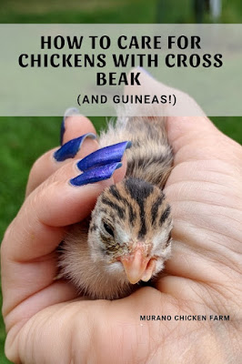Caring for a cross beak chicken