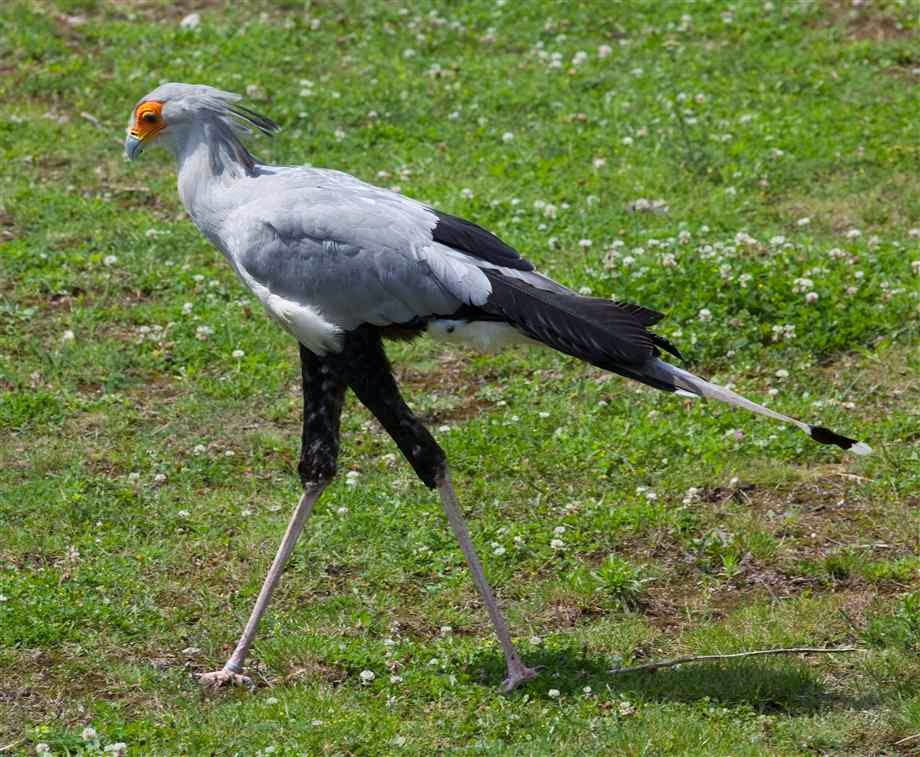 World Beautiful Birds : Secretary Bird Facts | Information ...