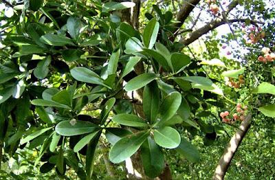 Cannella-pianta.