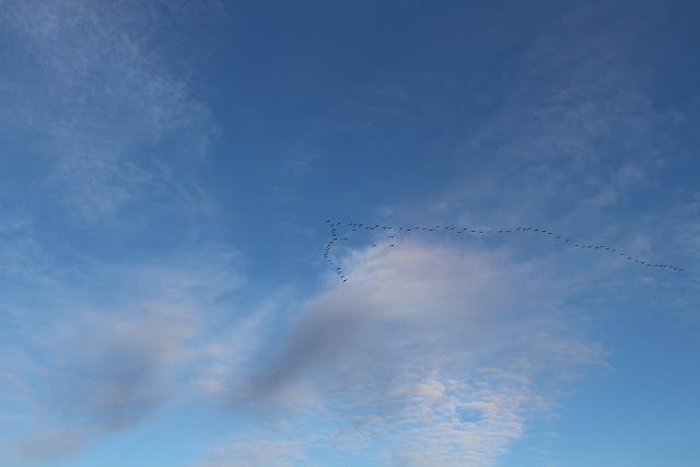 geese flying south, blue sky