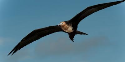 Burung Cikalang - 153 km/jam