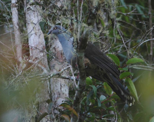 serta dalam bahasa Inggris dikenal dengan nama  Mengenal Burung Merpati Murung