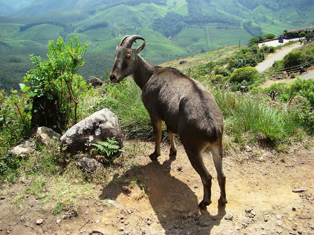 Nilgiri Thar  at Eravikkulam National Park  Munnar Hill Station Kerala Pick, Pack, Go