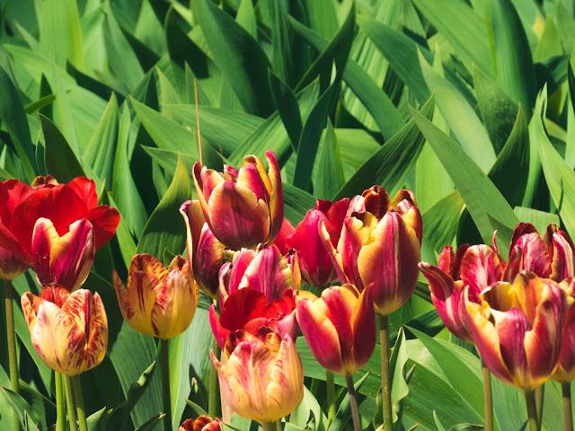 бал тюльпанов никитский ботанический сад