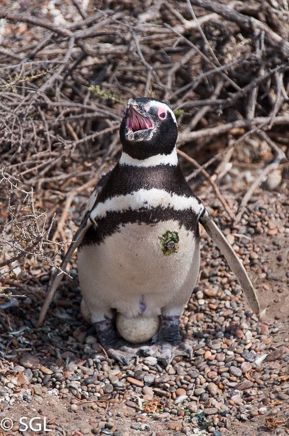 Pingüino encubando en pingüinera San Lorenzo. Argentina