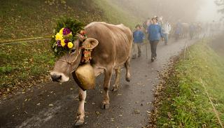Δημοψήφισμα στην Ελβετία καλεί τους πολίτες να ψηφίσουν... για τις αγελάδες