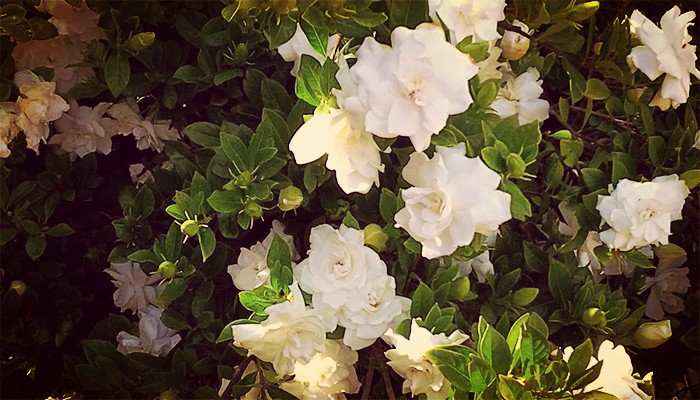 Gardenias flor