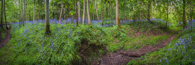 Panoramic image of beautiful bluebells at The Wildlife Trust Waresley & Gransden Woods