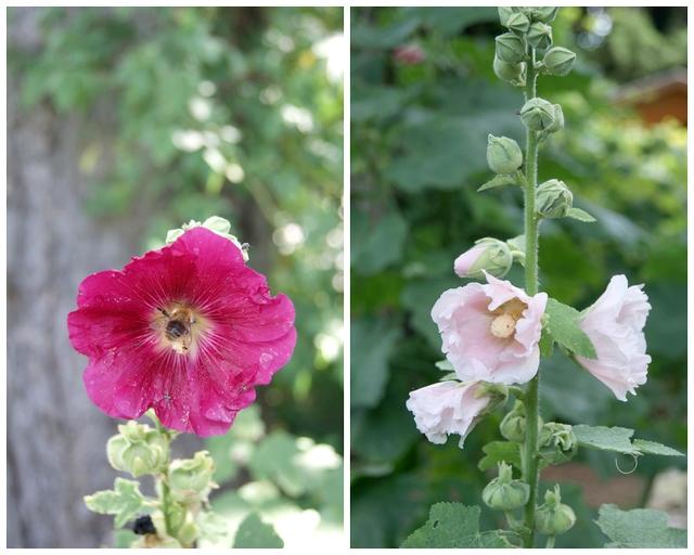 Garten Stockrosen Nahrung für Bienen und Hummeln