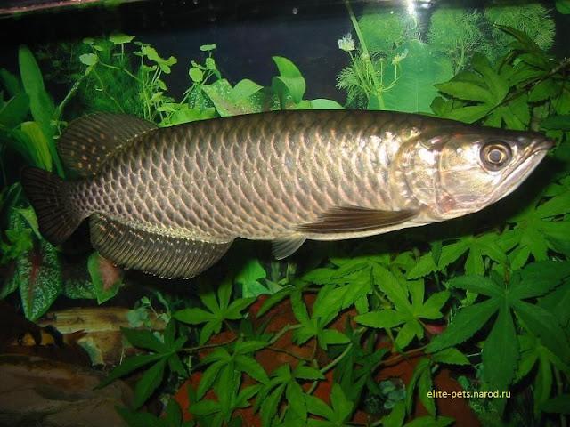 gambar, foto Nama Latin Ikan Arwana Dan Jenis Jenisnya Scleropages jardinii