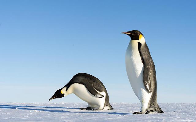 Belajar Fakta dan Informasi Tentang Pinguin