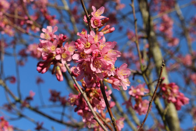 Looks like it's Prunus 'Kursar'