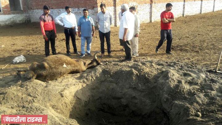 गंगा गणपति गौशाला में गायों की दुर्दशा