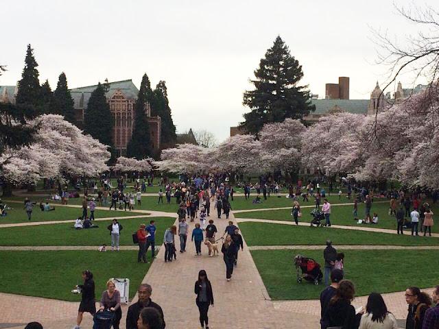 【西雅圖。生活】滿地整個校園的的櫻花樹及四月限定的鬱金香園 2