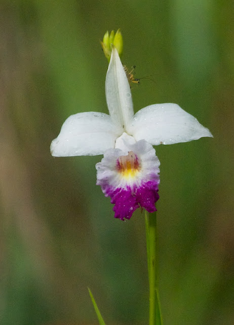 Bamboo Orchid (Arundina graminifolia)