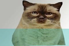 Bahaya mengajak tidur kucing dan bahayanya bagi tubuh kita