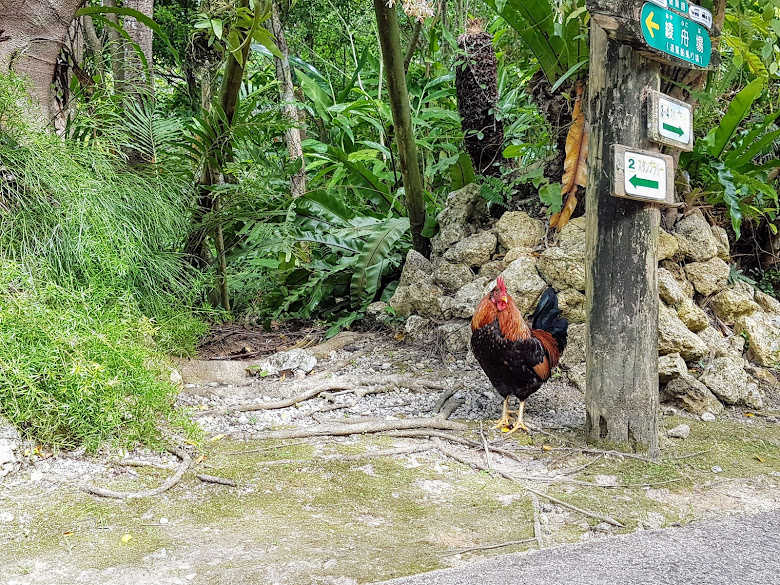 園內放養的雞