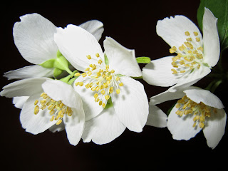 jasmine essential oil is good at calming the nerves and to increase libido