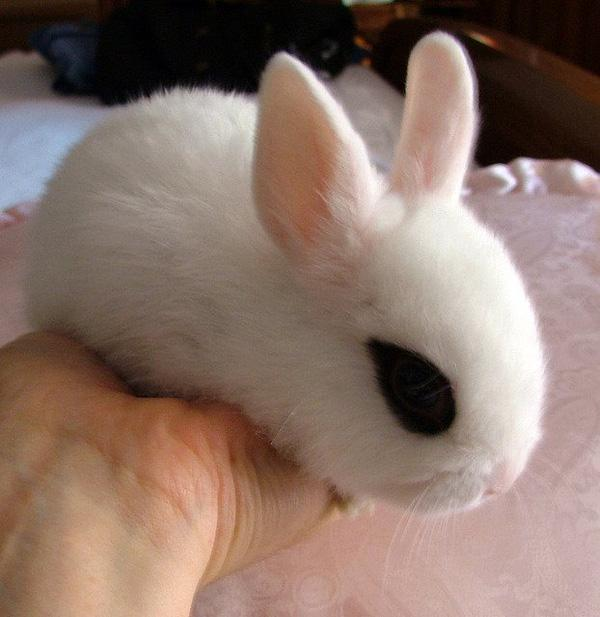 """Dwarf Hotot, loài thỏ """"kẻ mắt"""" dễ thương nhất thế giới"""
