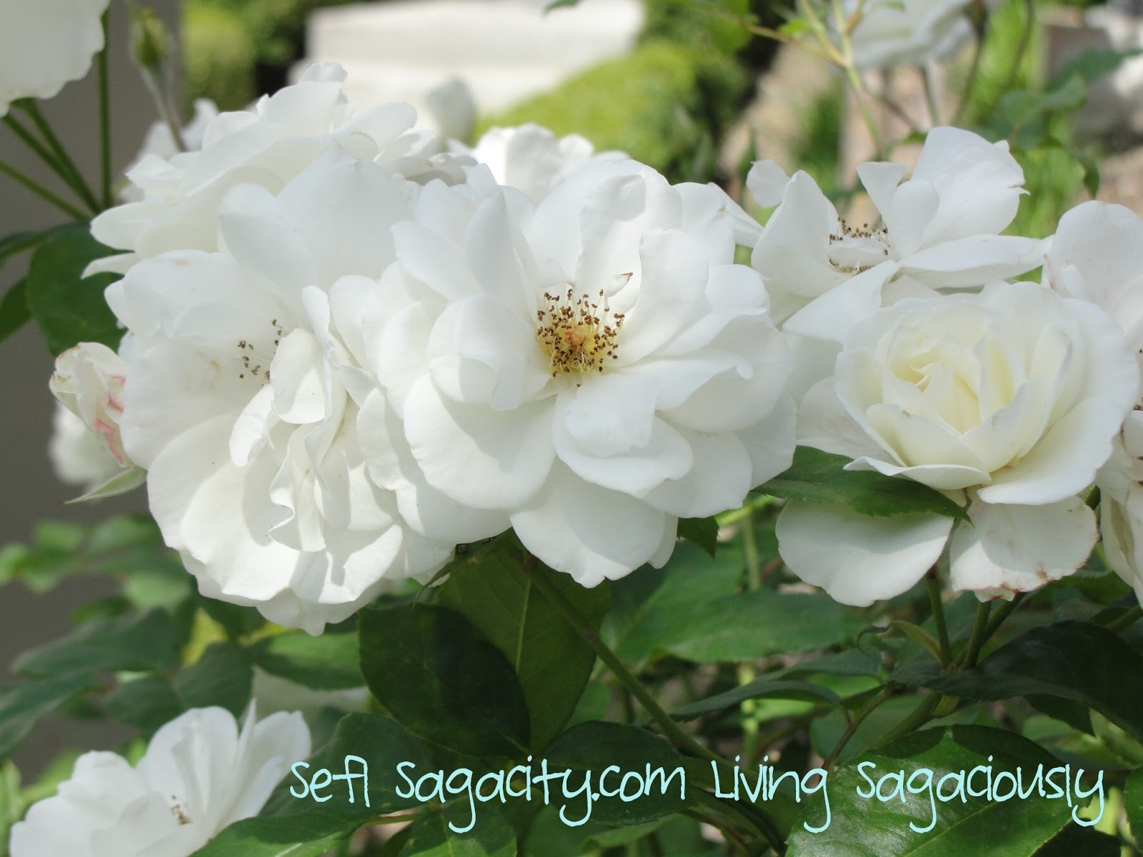 White Carpet Roses - Self Sagacity