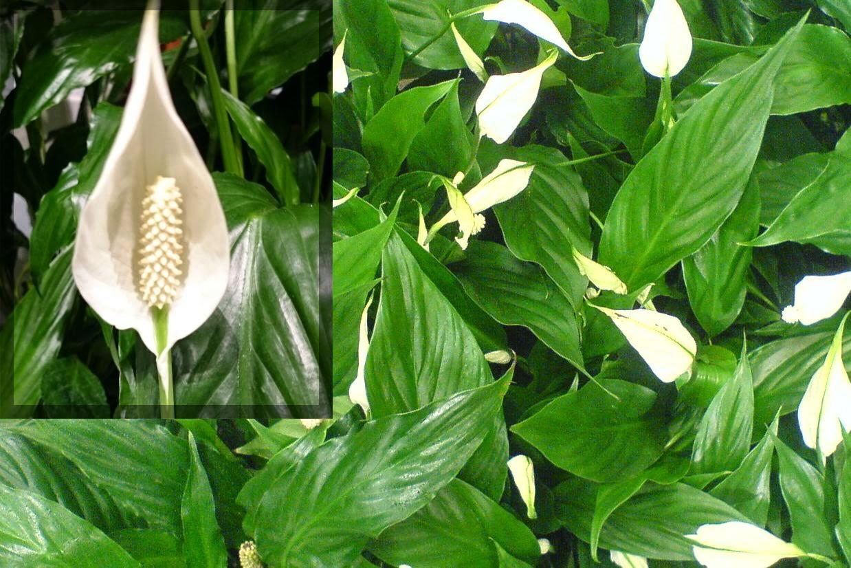 Fredslilje, Spathiphyllum