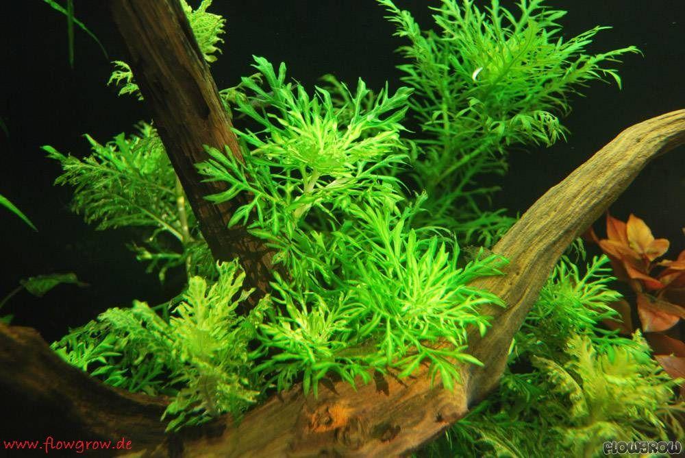 Hygrophila Difformis ( Water Wisteria ) - Tanaman - Tanaman Aquascape Untuk Pemula Yang Mudah Sekali Perawatanya